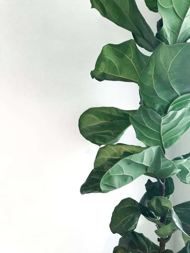 fiddle leaf fig 5